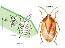 was ist das für ein insekt eine wanze oder was urlaub insekten wanzen aus dem lexikon wissen de https wissen de lexikon