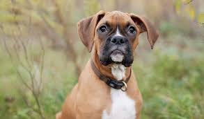 boxer dog origin boxer dog breed information