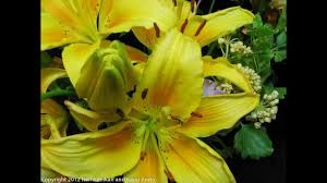 Yellow Lilies Beautiful Yellow Lilies Blooming Time Lapse Youtube
