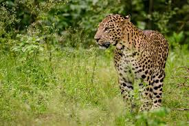 indian leopard wikipedia