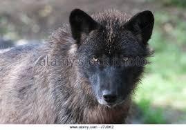 belgian sheepdog alberta alberta animals timber wolf stock photos u0026 alberta animals timber