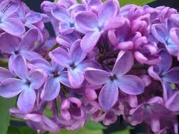 lilac color lilac color class iv hope springs nursery