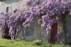 Purple Flower On A Vine - chinese wisteria plants and japanese american vines