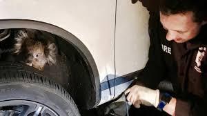 car suspension koala clings to car suspension for 10 mile joyride in australia