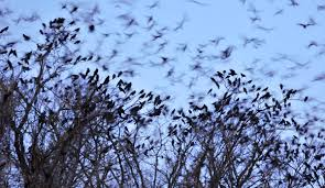 how to stop a murder of crows hint throw them a
