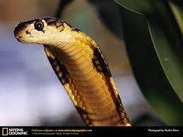 king cobra picture king cobra desktop wallpaper free wallpapers