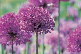 purple flower top 10 purple plants for your flower garden birds and blooms
