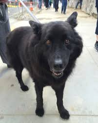 belgian sheepdog names dog of the day gus the belgian shepherd chow mix the dogs of