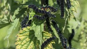 plants native to uk grow food that caterpillars love