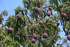 Mango Boom mangoboom stock afbeelding afbeelding bestaande uit gekleurd 55588893