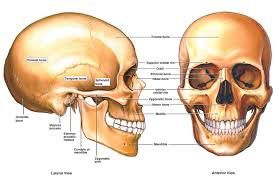 Image Of Brain Anatomy Spine And Brain Tumor And Anatomy Cern Foundation