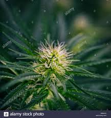 cannabis flower blooming marijuana plant with early white