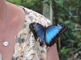 blue butterfly on shoulder picture of dubai butterfly garden