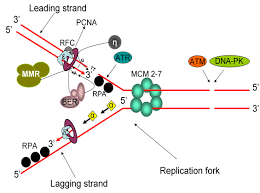 The Interplay Of Physical And Synergy Between Dna Replication And Repair Mechanisms Intechopen