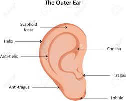 Ear Anatomy Pictures Ear Anatomy Labeled Diagram Stock Photo Picture And Royalty Free