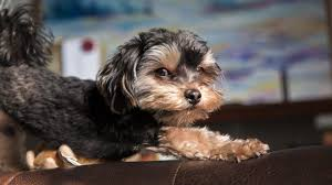 shorkie hair styles a big pooch stuck in a little dog the sassy shorkie certapet
