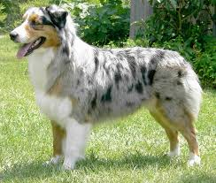 characteristics of a australian shepherd animal id week one by grant hall