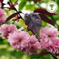 prunus royal burgundy buy flowering cherry blossom trees