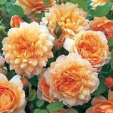 orange roses apricot orange roses david roses