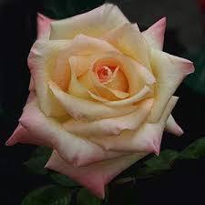 diana rose diana princess of wales rose nurseries online