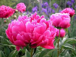 peony flowers indiana state flower peony