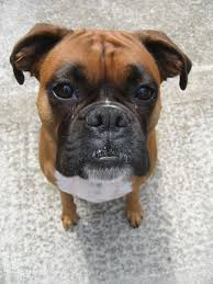 boxer dog price love dogs then join our facebook group click here to join https