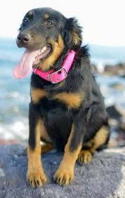australian shepherd 10 months adopt aubrac on adoption other and sweet