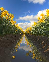 Skagit Valley Tulip Festival Bloom Map La Conner Daffodil Festival 2017 Blog Andy Porter Images