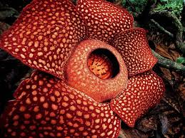 largest flower in the world the largest flower in the world is a parasite harvard magazine