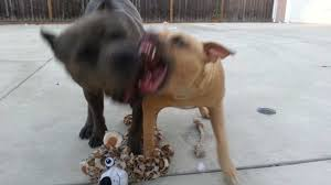 american pitbull terrier vs german shepherd blue nose pitbull mixed with german shepherd dog and cat