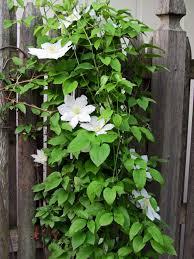 Vine House Plants 10 Best Flowering Vines For Arches Pergola Arbor And Trellis