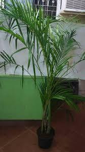 lipstick aglaonema indoor plant root bridges in mumbai india