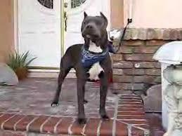 american pitbull terrier blue american pitbull terrier youtube