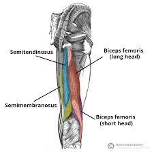 Anatomy Of The Right Arm Muscles Of The Posterior Thigh Hamstrings Damage Teachmeanatomy