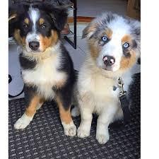 australian shepherd puppy training pet to pal dog training dog trainer obedience training puppy