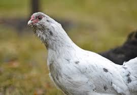 fargo moorhead group addresses ruffled feathers on urban chickens