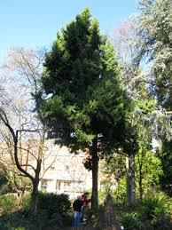 65 juniper