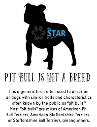 american pitbull terrier traits what is a pit bull