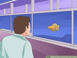 how to help a betta fish live longer with pictures wikihow