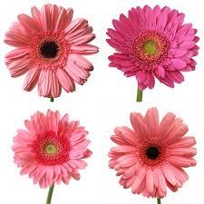 gerbera daisies gerbera flower