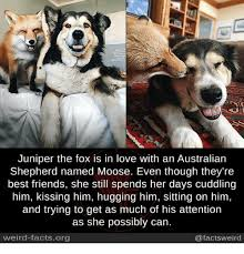 australian shepherd fun facts 25 best memes about australian shepherd australian shepherd