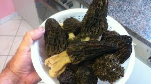 cuisiner des morilles fraiches trop de morilles même cuites sont toxiques