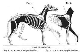 lifespan of a bluetick coonhound greyhound wikipedia