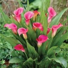 calla bulbs pink color calla bulbs 2pc ebay