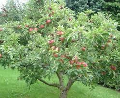 best 25 honeycrisp apple tree ideas on apple tree