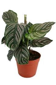 what is the common name and the scientific name this house plant