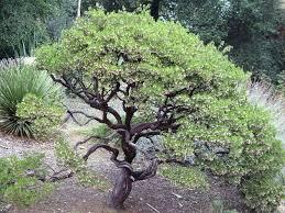 manzanita tree manzanita dave s garden
