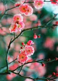 winter plum flower buds touching in the faint light u201d u2014 kanbai ya