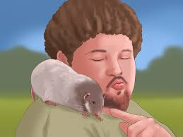 how to care for a pet rat with pictures wikihow