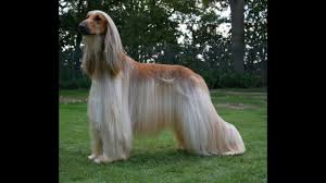 afghan hound tattoo most beautiful longest hair dog सबस ल ब ब ल क